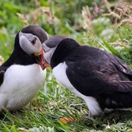 Puffins - What's the Story in Tobermory